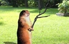 Stick Wielding Groundhog