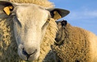 Sheep Jigsaw
