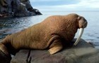 The walrus god