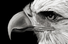 Eagle Speedpaint