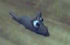 (2004) Legs the hamster