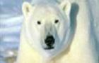 Grrrrrrr I'm a Polar Bear