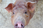 Pretty Piglets