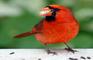 Birdy Bob 4: Comic Relief