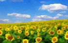 Amajeto Sunflowers