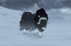 Just a Musk Ox