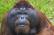 Orangutan Battle Simulator 0.9